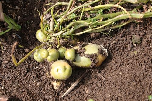 水培土豆的步骤