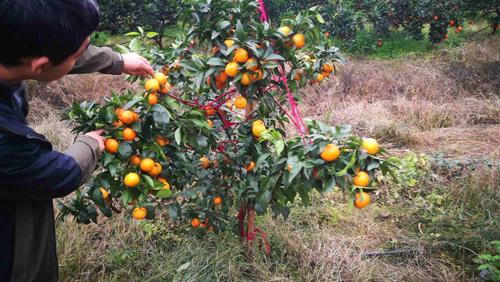 科技特派员带领帮扶对象现场考察柑橘新品种
