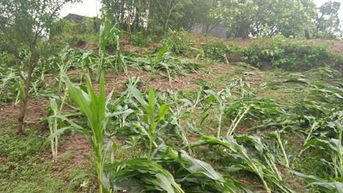 垫江县周嘉镇玉米被大风吹倒