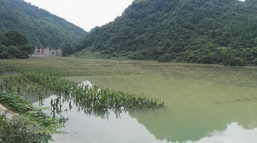 彭水县棣棠乡玉米被水淹没