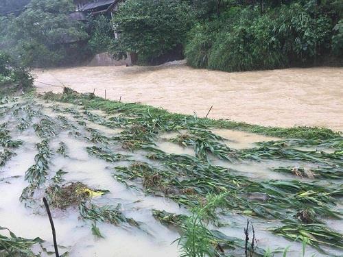 彭水县汉葭街道玉米被水淹没