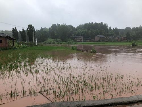 荣昌区远觉镇水稻被暴雨洪涝淹没