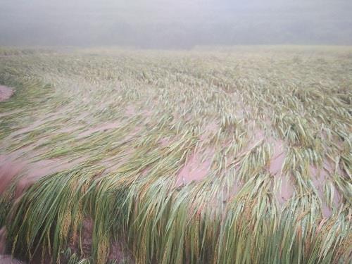 湛普镇水稻被水淹没