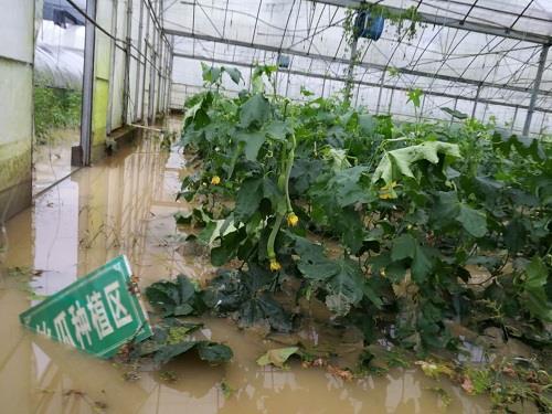 包鸾镇蔬菜基地遭受灾害