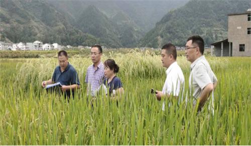 曾卓华站长在彭水县特种稻试验示范现场考察及指导