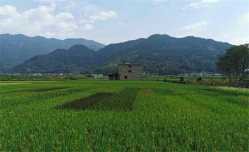 在彭水县开展的珍稀特种稻品种筛选试验示范