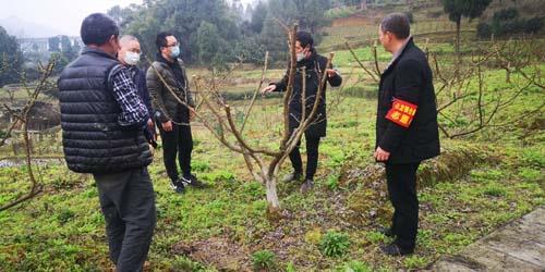 区农业农村委经作站技术人员在石龙镇合路村指导李树花期管理工作
