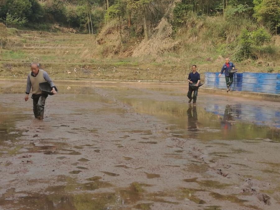 石龙李显六大户示范水稻直播